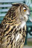 Portrait of brown owl Royalty Free Stock Photography