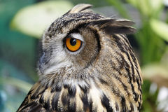 Portrait of brown owl Stock Photos