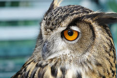 Portrait of brown owl Stock Images