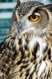 Portrait of brown owl Royalty Free Stock Photo