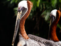 Portrait of Brown Pelican Royalty Free Stock Image