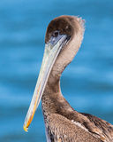 Portrait of a Brown Pelican - close up. Royalty Free Stock Photos