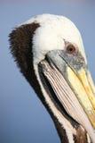 Portrait of Brown Pelican in Paracas Bay, Peru Royalty Free Stock Photos