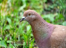 Portrait of brown pigeon in green grass stock images