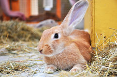 Portrait of a Brown Rabbit. Close up on the head of a brown rabbit Royalty Free Stock Photography