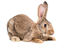 Portrait of a brown rabbit Royalty Free Stock Images