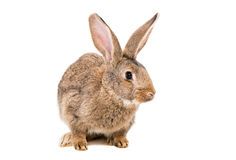 Portrait of a brown rabbit Stock Photos