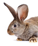 Portrait of brown rabbit Royalty Free Stock Images
