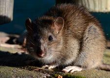 Portrait of a Brown Rat. Close-up portrait of a brown rat Stock Photo