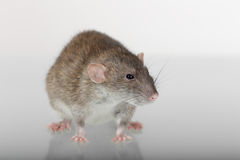 Portrait of a brown rat Stock Photography