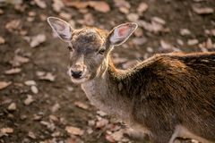Portrait of brown european fallow deer on a sunny day stock images