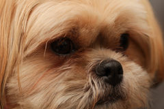 Portrait of a brown shih tzu Royalty Free Stock Images