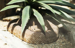 Portrait of a brown snake. Stock Photos