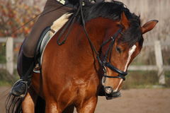 Portrait of brown sport horse Royalty Free Stock Photo