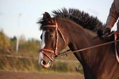 Portrait of brown sport horse Stock Photos