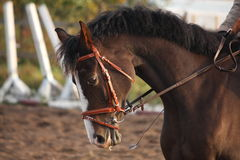 Portrait of brown sport horse Stock Photos