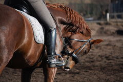 Portrait of brown sport horse with rider Royalty Free Stock Photo