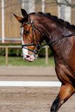Portrait of brown sport horse during show Royalty Free Stock Photo