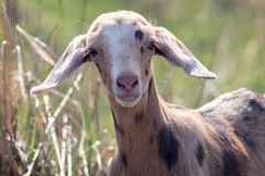 Brown goatling with dark brown spots in the meadow background