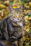 Portrait of brown tabby cat. Stock Images