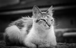Portrait of a brown tabby domestic shorthair cat stock photos