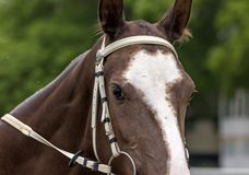 Portrait of a thoroughbred horse stock images