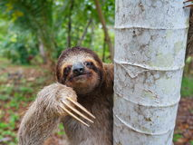 Portrait of brown-throated three-toed sloth. On a tree, Panama, Central America Stock Image