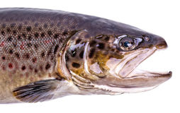 Portrait of brown trout fish. Isolated on white background Royalty Free Stock Photos