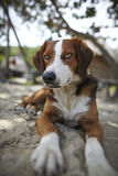 Portrait of brown and white dog Royalty Free Stock Image