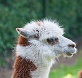 Portrait of brown and white Llama Royalty Free Stock Image