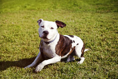 Pitbull Dog Sitting on Lawn. Portrait of a brown & white pittbull sitting on the grass Stock Photography