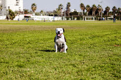 Happy Pitbull at the Park Royalty Free Stock Photo
