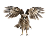 Portrait of Brown Wood Owl. Strix leptogrammica, flying in front of white background, six months old royalty free stock images
