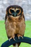 Portrait of brown wood Owl against green background Royalty Free Stock Images