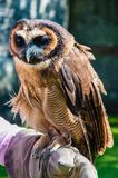 Portrait of brown wood Owl Royalty Free Stock Image