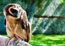 Portrait of brown wood Owl Royalty Free Stock Photography