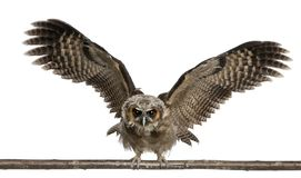 Portrait of Brown Wood Owl, Strix leptogrammica, flying in front of white background. Six months old royalty free stock photo