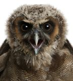 Portrait of Brown Wood Owl, Strix leptogrammica. In front of white background royalty free stock photos