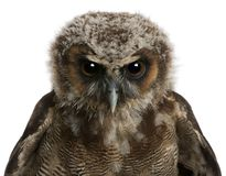 Portrait of Brown Wood Owl, Strix leptogrammica. In front of white background stock photos