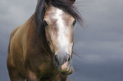 Portrait of brown yong horse royalty free stock photos