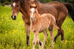 Portrait of brown young foal walking with its mother in a blooming meadow stock photography