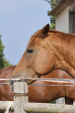 Portrait of a brown young horse from Tuscany Royalty Free Stock Photo