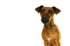 Portrait brun bronzage de Jack Russel d'isolement dans le blanc Images stock