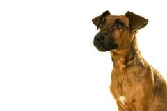 Portrait brun bronzage de Jack Russel d'isolement dans le blanc Photographie stock
