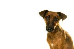 Portrait brun bronzage de Jack Russel d'isolement dans le blanc Photographie stock libre de droits