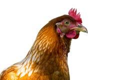 portrait brun de poule sur le fond blanc image libre de droits