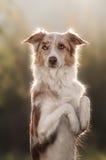 Portrait brun heureux de border collie de chien Photo libre de droits