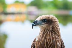 Portrait brun sain de faucon avec le fond brouillé de lac images stock