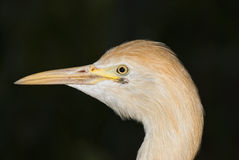 Portrait of Bubulcus ibis Stock Images