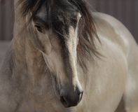 Portrait of buckskin Andalusian horse. Stock Photos